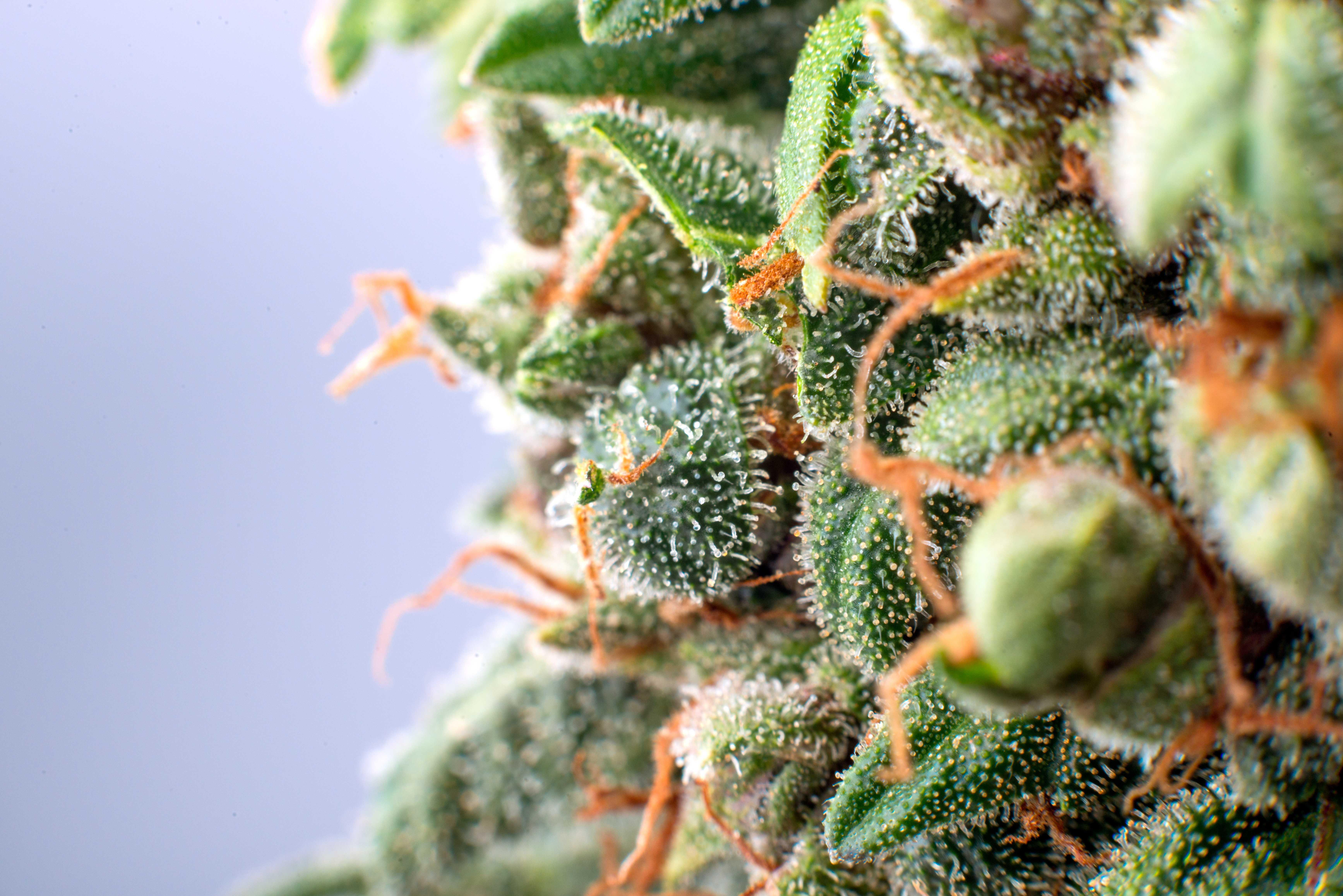 Cannabis_shutterstock_523553671